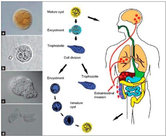 жизненный цикл Entamoeba histolytica