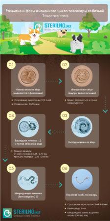 Инфографика токсокароз