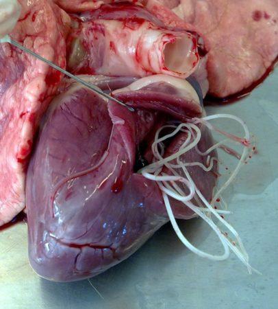 Взрослые черви D.immitis в камерах сердца собаки