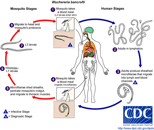 zhiznennyj-cikl-parazita