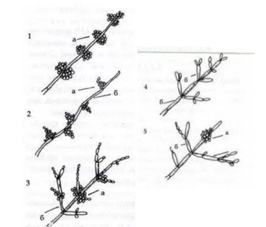 Варианты роста кандиды альбиканс на питательных средах