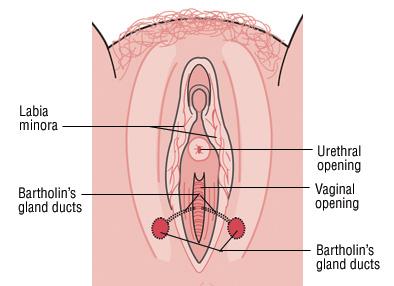 Строение наружных половых органов женщины