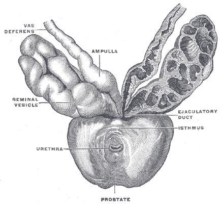 Анатомия семенных пузырьков (seminal vesicle): слева в разрезе.