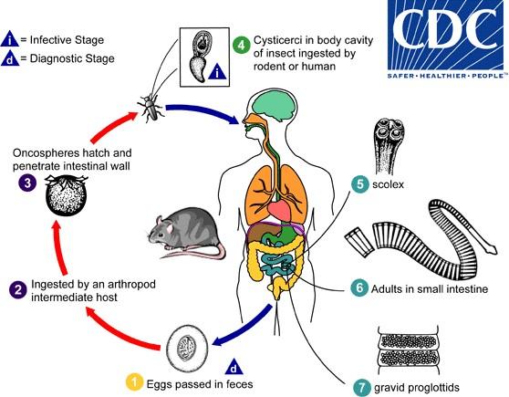 гименолепис димунита