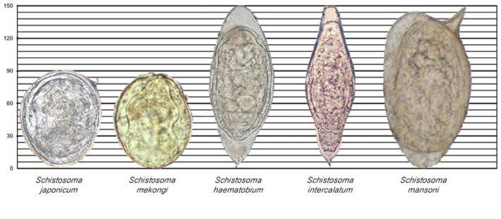 морфология яиц шистосом