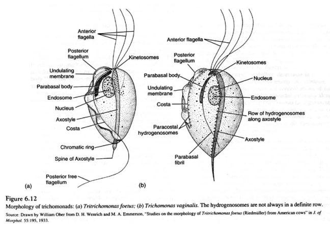 морфология трихомонад