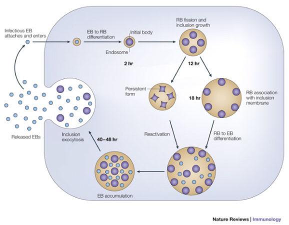 Биологический цикл и размножение Chlamydia trachomatis (хламидия трахоматис)