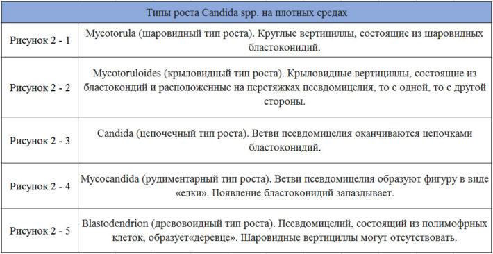 Типы роста Candida spp. на питательных средах